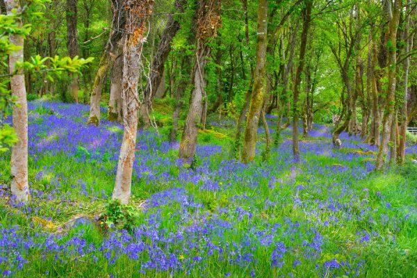 Jim McCarthy Photographer Cork - Photography Prints - Bluebells in Woodland #3828